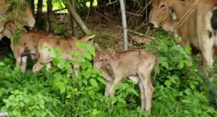 Se vende vacas brahmán