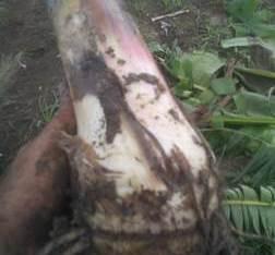 Cepas plátanos phia 20