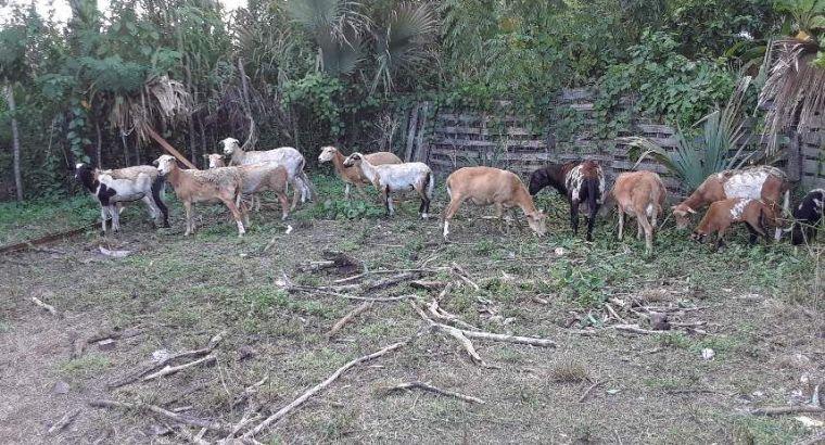 Se vende ovejas de raza