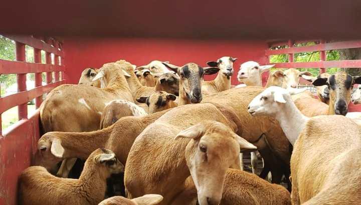 Vendo ovejas de raza