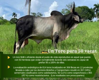 Se vende toro de raza