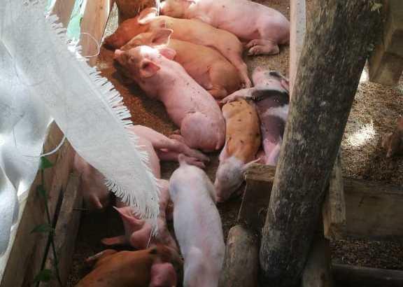 Cerdos al.destete