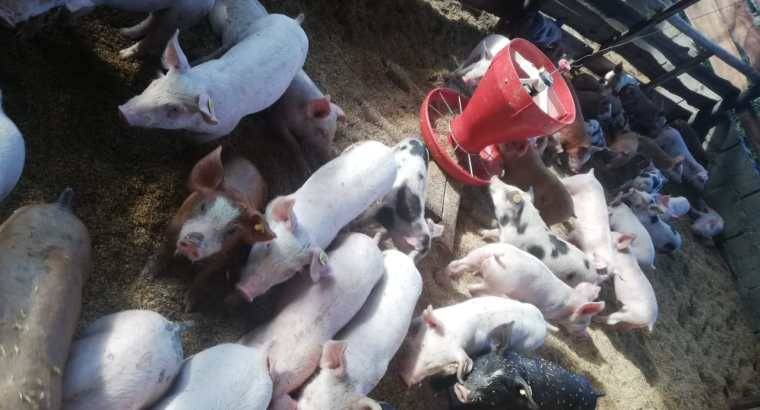 Tenemos cerdos al destete