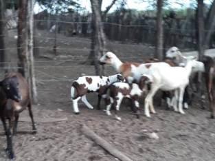 Tenemos borregos y ovejas