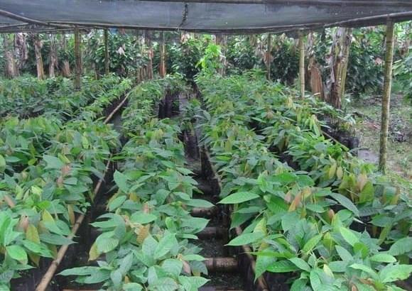 Se vende clones de cacao