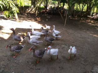 Venta de gansos
