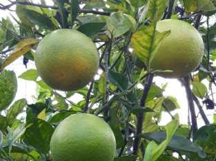 Vendemos naranjas valencianas