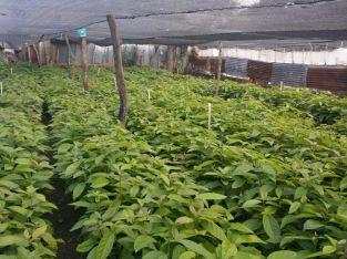 Vendemos plantas de aguacates