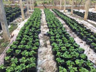Plantas de fresas in vitro