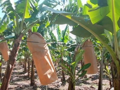 Producción de bananas libre de plásticos en la República Dominicana