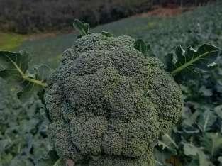Brócoli de primera