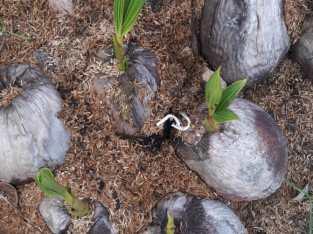 Fibras de coco para sustrato