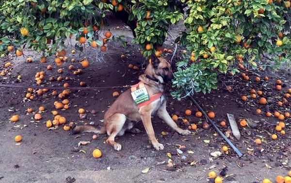 Los perros pueden ser la salvación para los cítricos frente al HLB