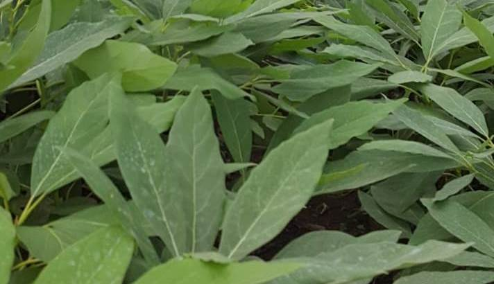 Plantas aguacate hass