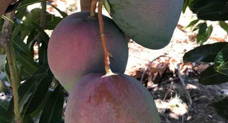 Tenemos mangos
