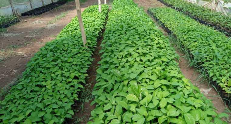 Plantas de cacao