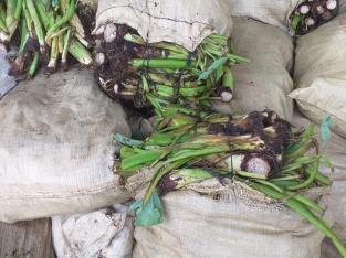 Plantas yautía coco