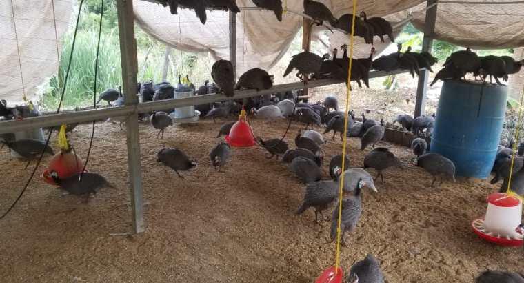 Tenemos guineas