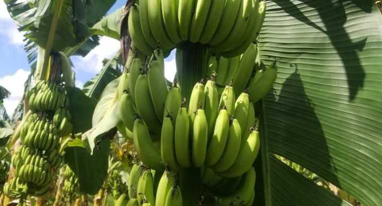 Banano disponible