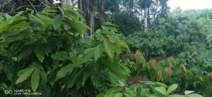 Finca en Monte plata con 80% siembra de cacao orgánico de 1083 tarea