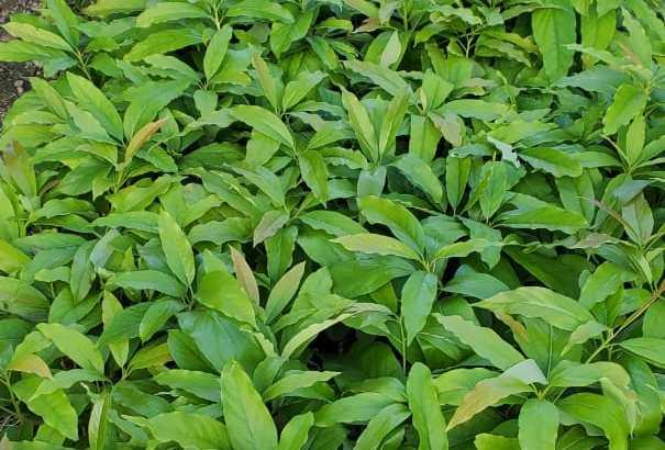Plantas aguacate popenoe