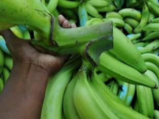 Plátanos cibaeños