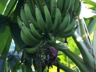 Plátanos a la flor