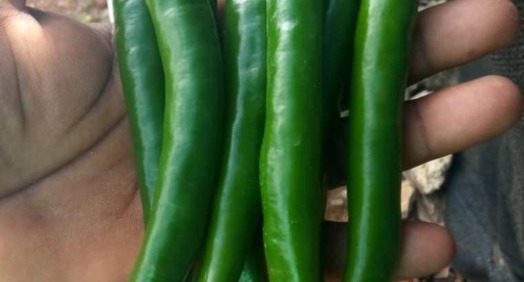 Aji thai chili