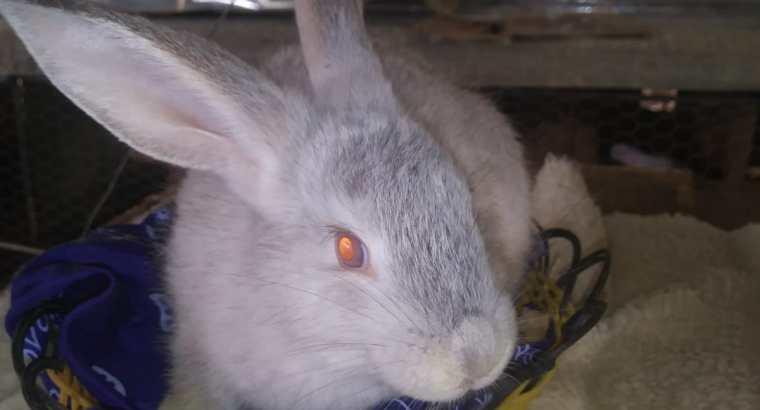 Conejo de diferentes razas