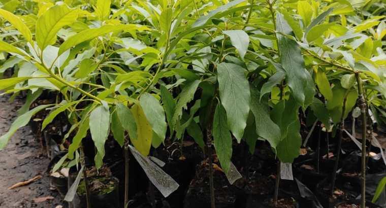 Plantas de agucate benny