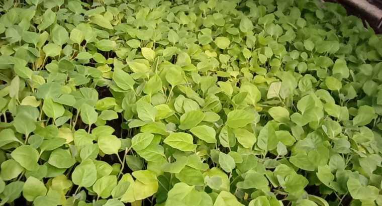Plantas de berenjena