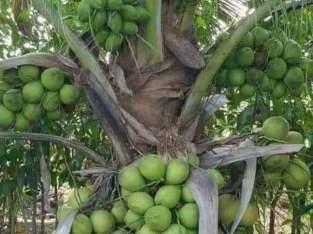 Matas de coco enanas