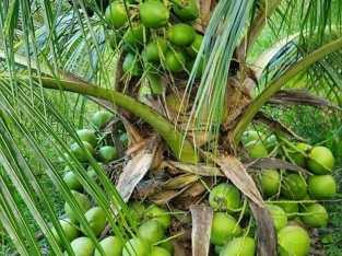 Plantas de coco enana