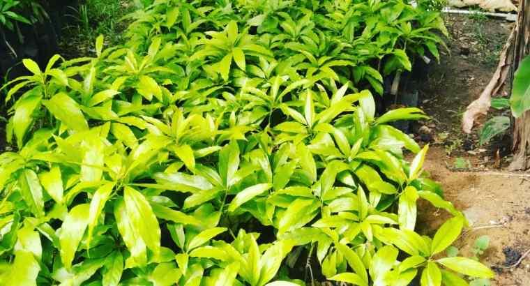 Plantas de aguacates injertas de buena calidad