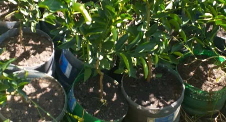 Plantas de limón enanas