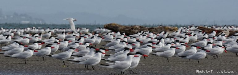 Caspian terns loafing on the East Sand Island beach just before the start of the 2016 breeding season