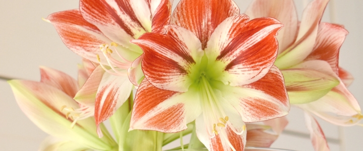 How To Get An Amaryllis To Flower Again