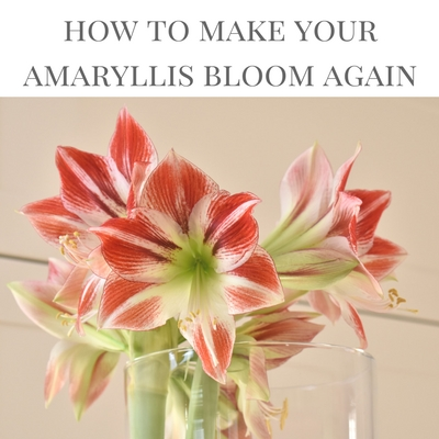 How to care for an amaryllis after it has finished blooming - with the right care you can get your amaryllis plant to bloom year after year