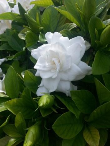 Gardenias everywhere
