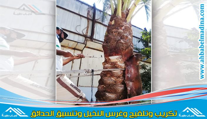 Photo of شركة تكريب النخيل بالخبر وغرس وتلقيح النخيل