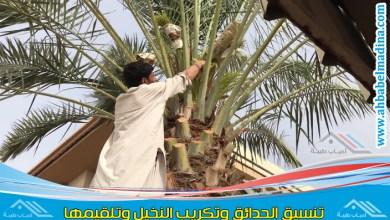 Photo of تكريب النخيل بخميس مشيط