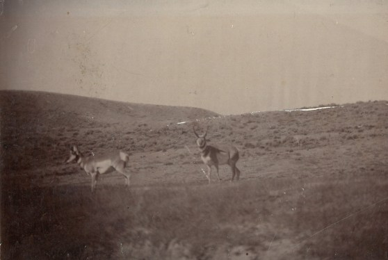 black and white image; nature landscape with hills, two pronghorn in foreground.