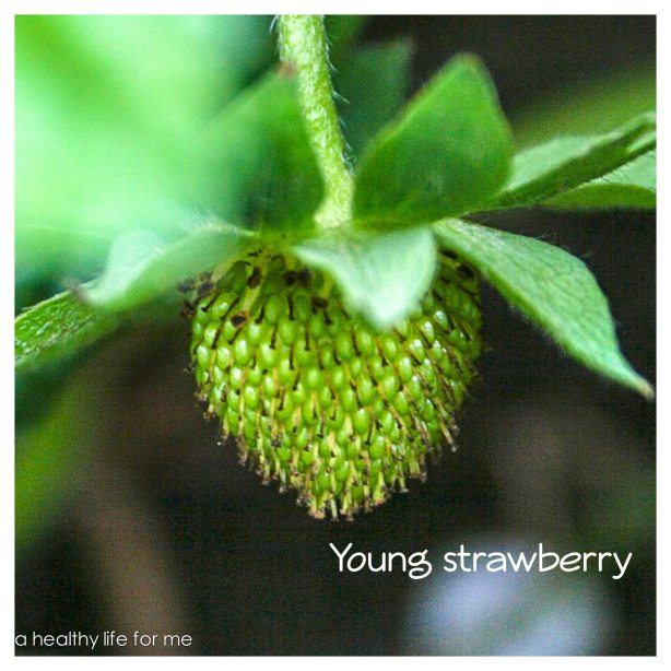 Young Strawberry Growing in Amy Stafford's Garden
