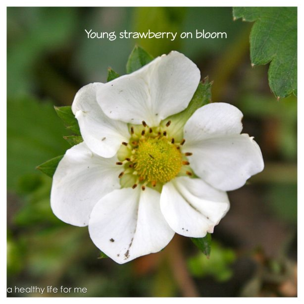 Young strawberry on bloom