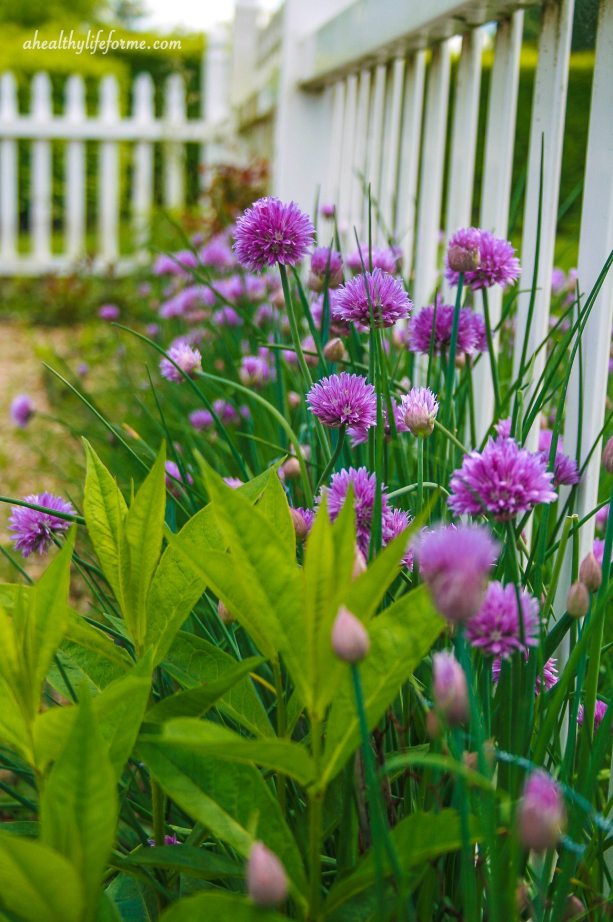 Chives Blooming in the Garden