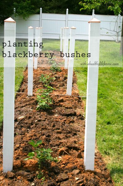 Planting Blackberry Bushes part II