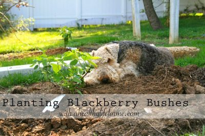 Planting Blackberry Bushes with ahealthylifeforme.com