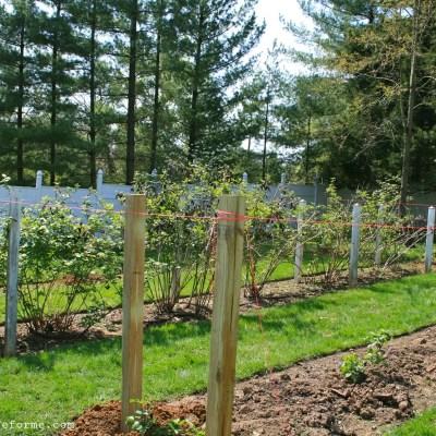 Planting Blackberry Bushes 'Part 2'