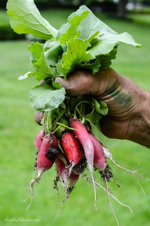 Radishes just out of the Garden | How to Grow Radishes