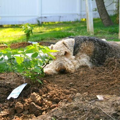 Planting Blackberry Bushes 'Part 1'